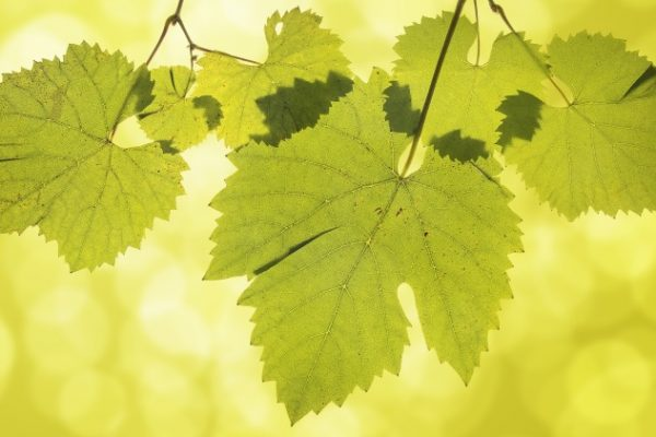 vinograd_listya